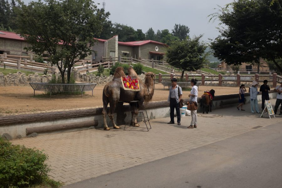 Pyongyang couple taking a camel ride at the zoo