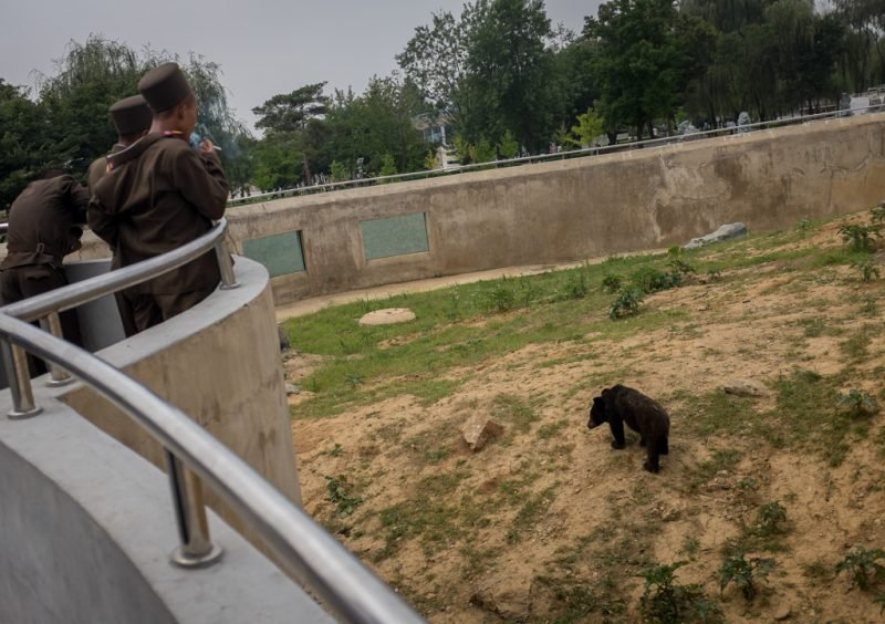 A Bear at the Pyongyang Zoo