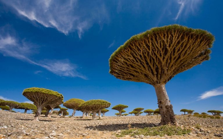 See the dragon blood trees, Socotra's most iconic attraction