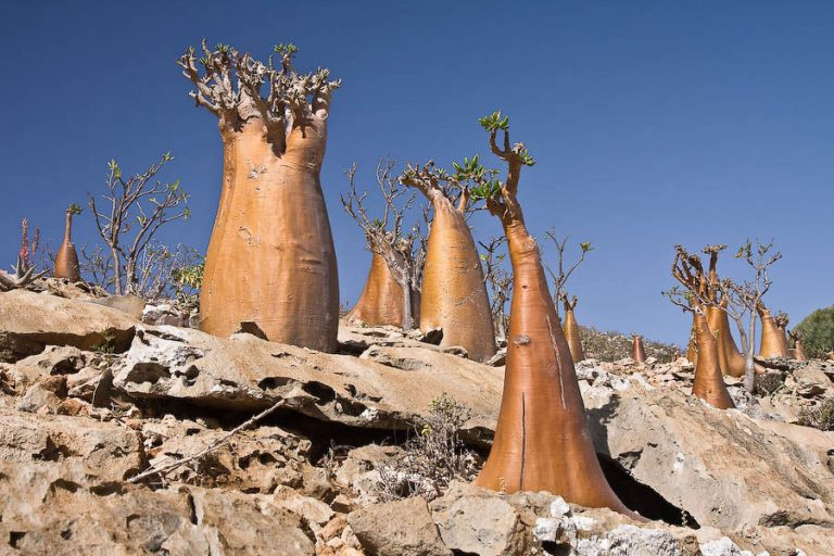 Trees on Socotra island, Yemen